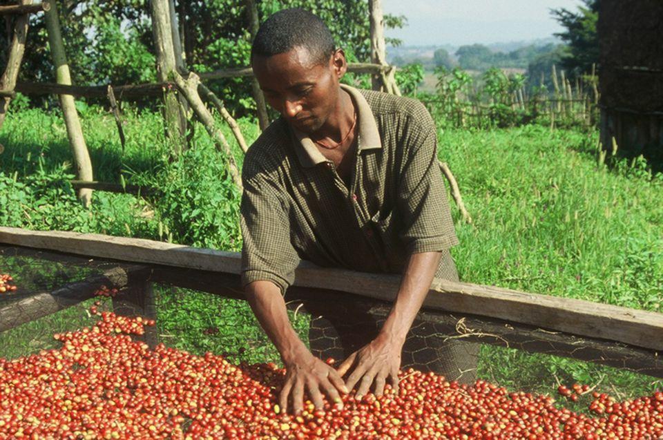 In den Sammelstellen der Kooperativen werden die Kaffeekirschen zum Trocknen ausgelegt