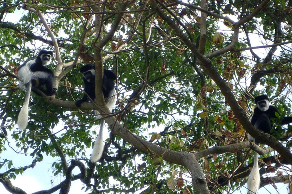 In den Wäldern um Bonga findet eine Vielzahl an Tieren und Pflanzen Schutz wie auch diese Colobus-Affen, die früher wegen ihrer dekorativen Felle gejagt wurden