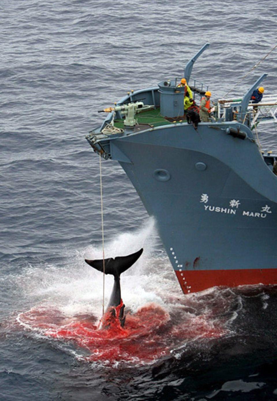 Meinung: Blutiges Geschäft: Japanische Walfänger machen unter dem Deckmantel der Wissenschaft Jagd auf große Meeressäuger