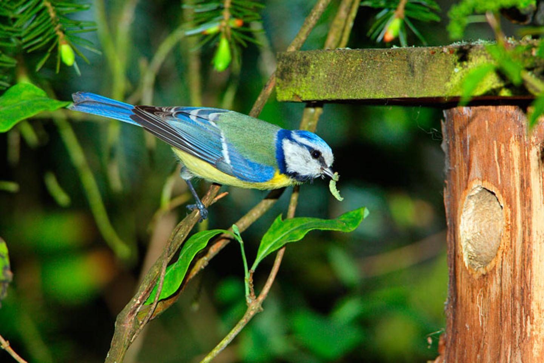Bastelanleitung: Da es immer weniger natürliche Brutplätze gibt, sind viele Vögel auf die Nisthilfen der Menschen angewiesen
