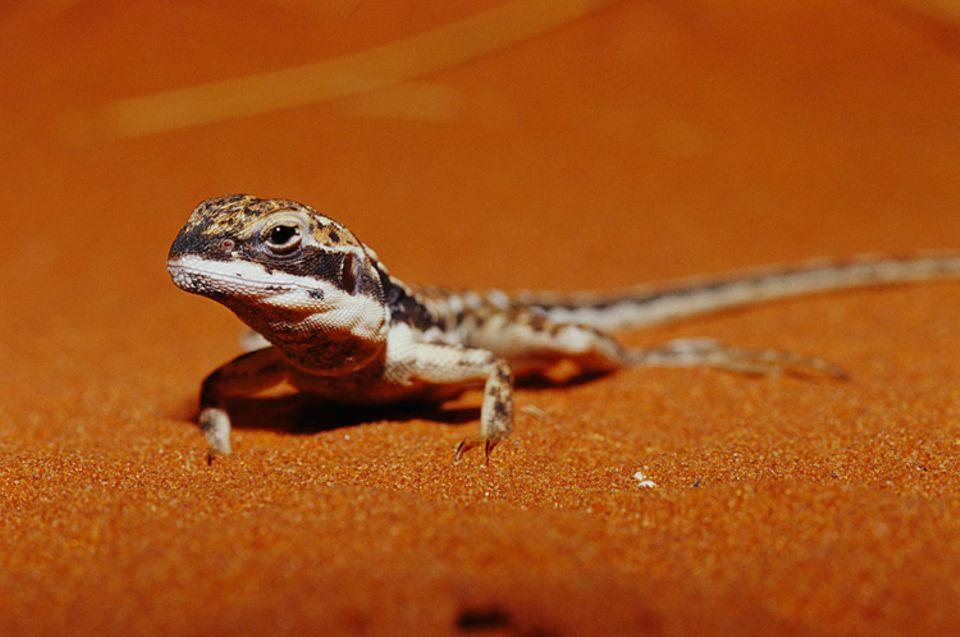 Im Alice Springs Desert Park treffen Besucher auf Schlangen, Echsen, Insekten, aber auch Kängurus oder Emus
