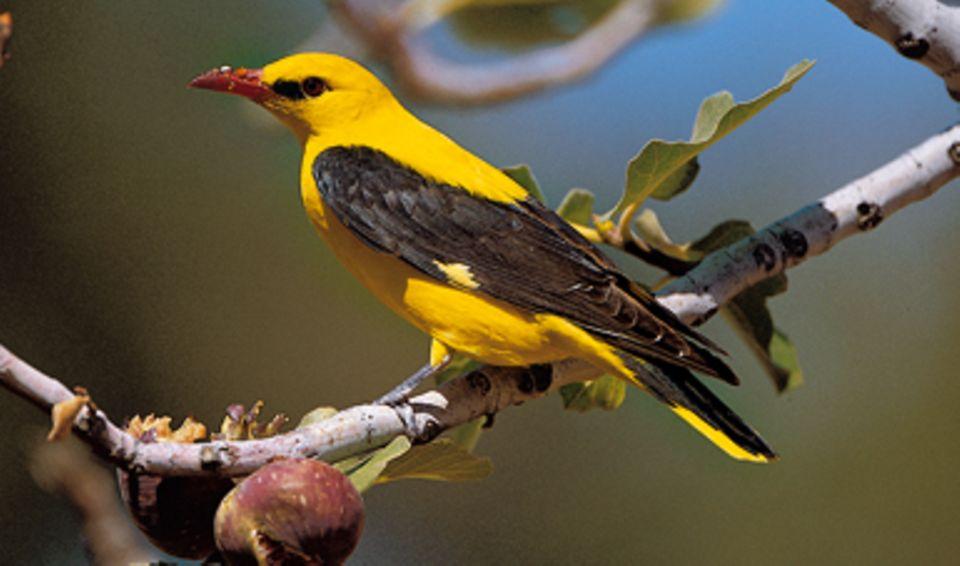 Buchtipp: Gelb-schwarzes Gefieder und ein Vorkommen meistens im Herbst und Winter: Welcher Vogel kann das nur sein?