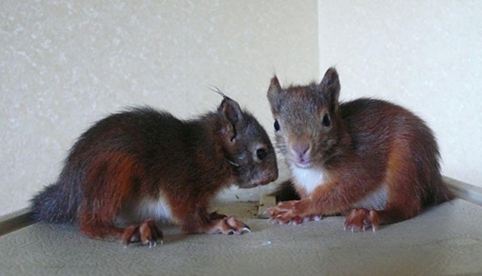 Diese Eichhörnchen wissen sich am allerbesten selbst zu helfen. Falls nicht, gilt es Experten zu rufen