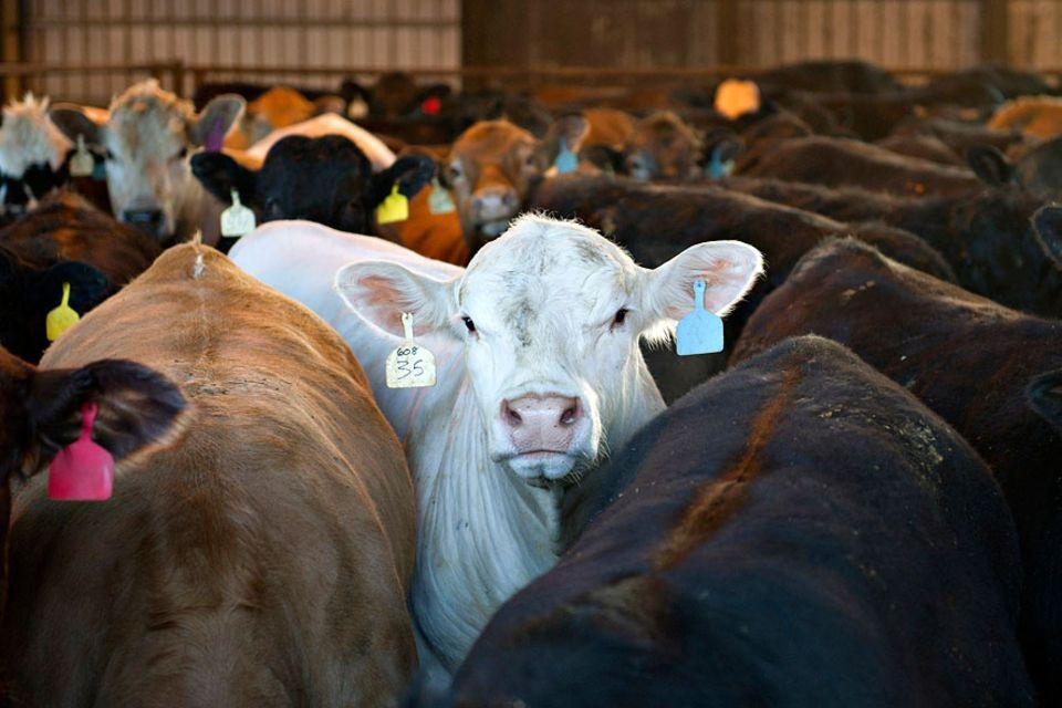 Fleischkonsum und Klima: Rinderhaltung schädigt das Klima nicht nur durch Methanemissionen - sondern auch durch ihren Flächenverbrauch