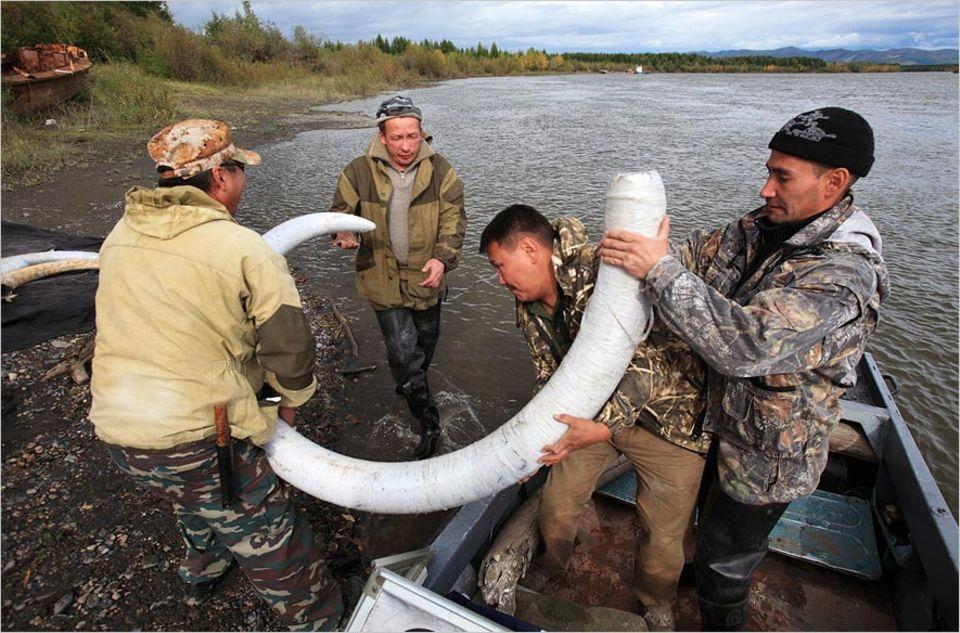 Artenschutz: Im tauenden Permafrostboden Sibiriens finden Suchtrupps die Stoßzähne der längst ausgestorbenen Mammuts
