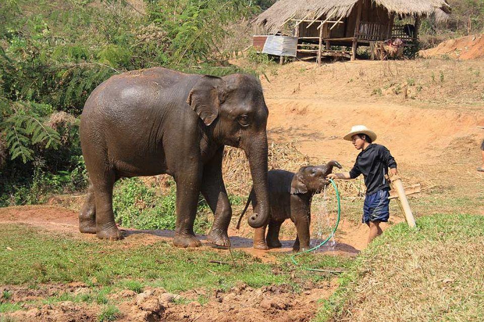 Ein ausgewachsener Elefant braucht pro Tag rund 40 Liter Wasser, auch der Nachwuchs ist durstig
