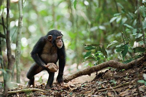 """FILMKRITIK: """"Schimpansen"""": Das beste Drehbuch schreibt das Leben"""