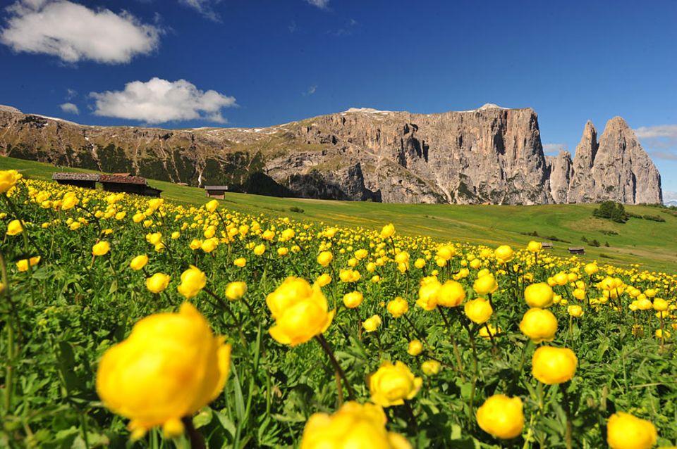 Wandern in Südtirol: Auf dem Weg hinauf zum Hausberg Südtirols dem Schlern erschließt sich zum Sommer hin ein Blumenmeer