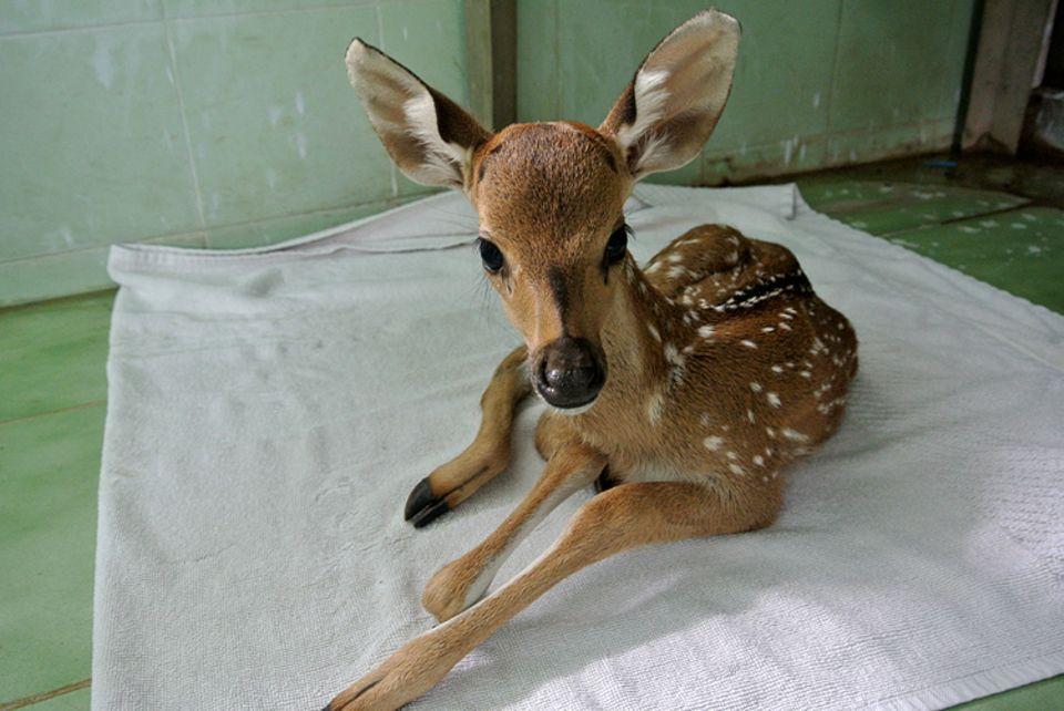 Tierlexikon: Ein Rehkitz kann schon 20 Minuten nach der Geburt laufen