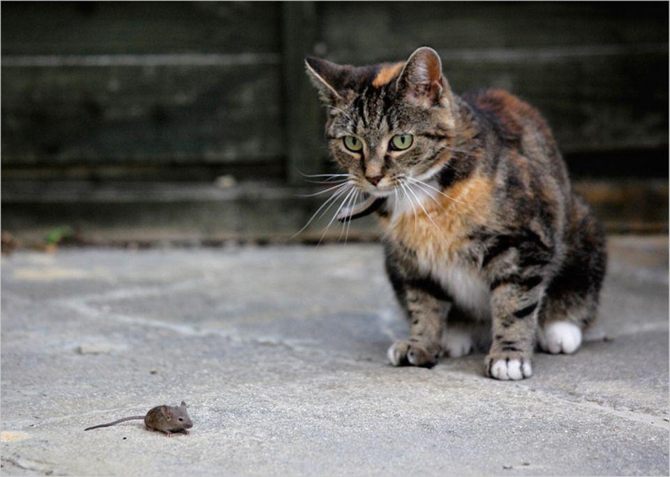 Redewendung: Die Katze kann es nicht lassen, ständig ist sie auf Mäusejagd