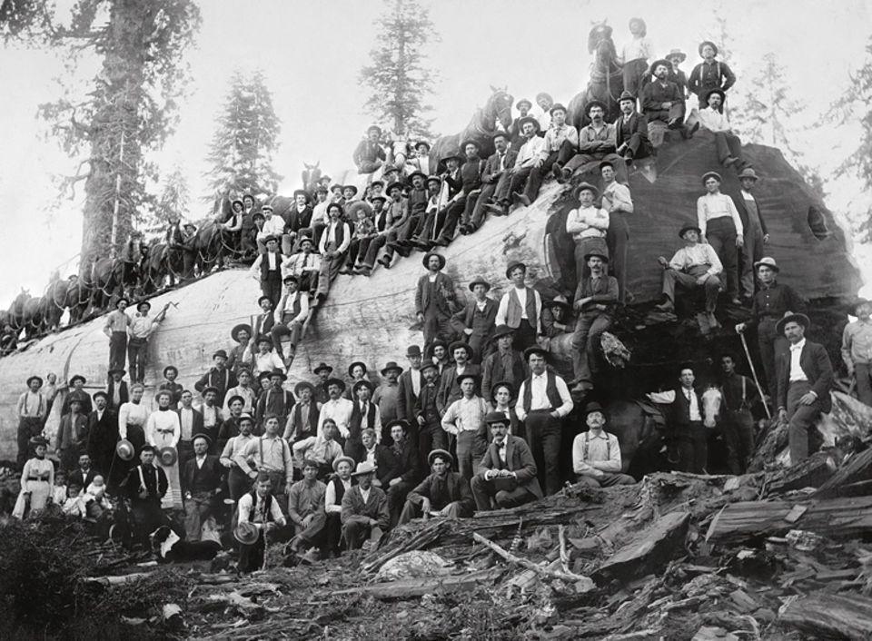 1898 - 1919: Die Rohstoffproduktion der USA wächst rasant: 1899 schlagen Arbeiter mehr als 82 Millionen Kubikmeter Holz und fördern Millionen Tonnen Kohle, Kupfer und Eisenerz (gefällter Mammutbaum, Kalifornien 1917)