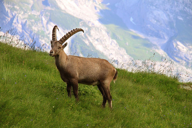 Tierlexikon: Ein besonderes Merkmal der Alpensteinböcke sind ihre großen Hörner