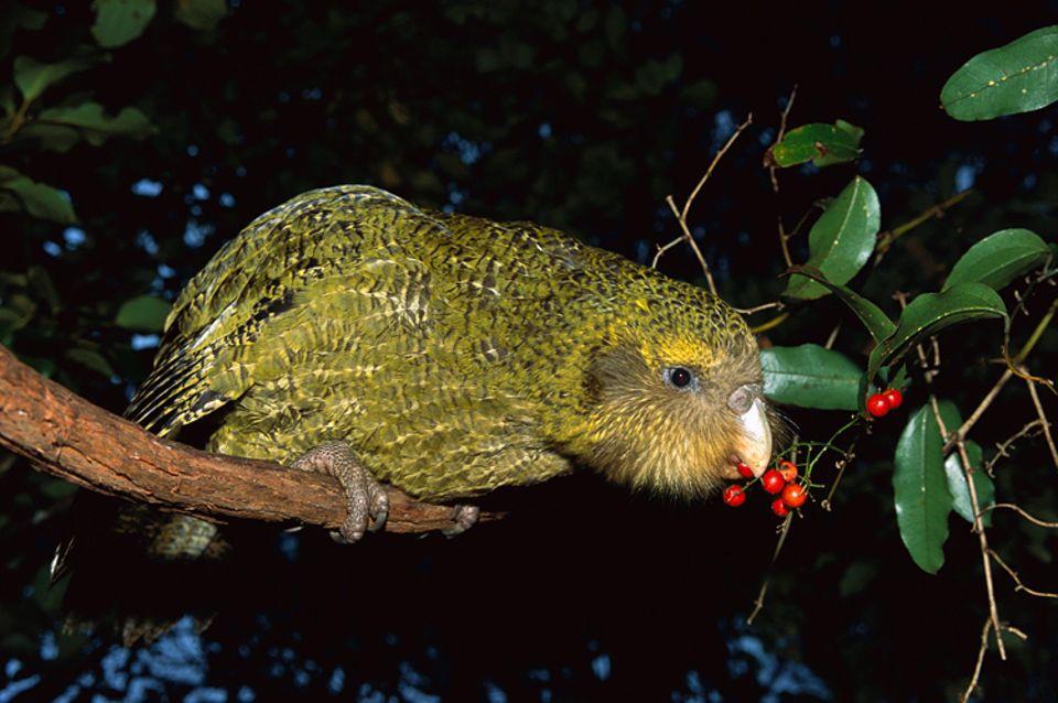Tierlexikon: Kakapos sind die schwersten Papageien der Welt