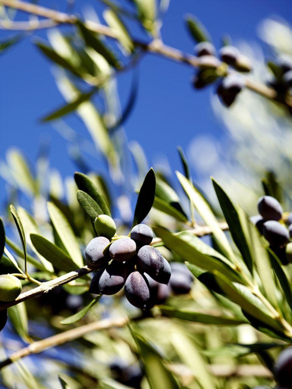 Umwelt: Problematisch sind vor allem die toxisch wirkenden Polyphenole aus den Olivenresten