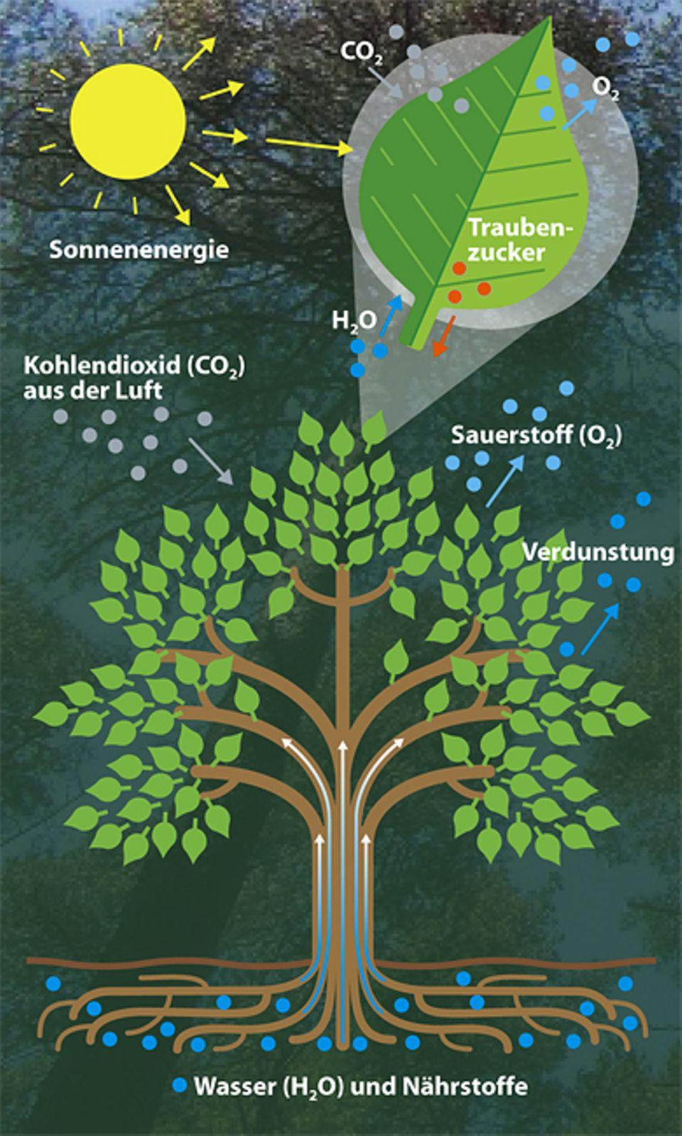 Botanik: Ein Baum braucht Wasser, Luft und Licht zum Überleben