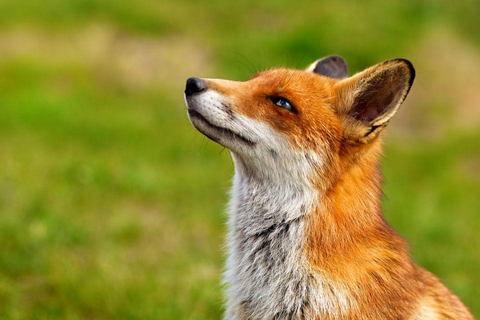 Redewendung: Möchte der Fuchs wirklich nicht von den Trauben essen?