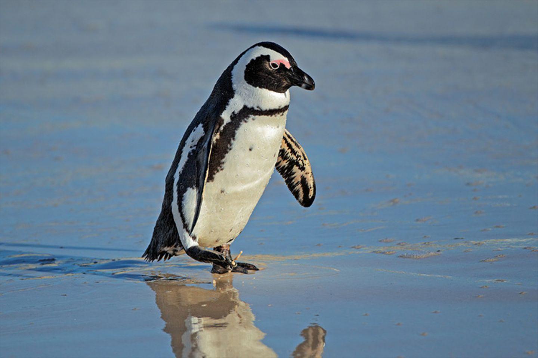 Tierlexikon: Brillenpinguin am Wasser