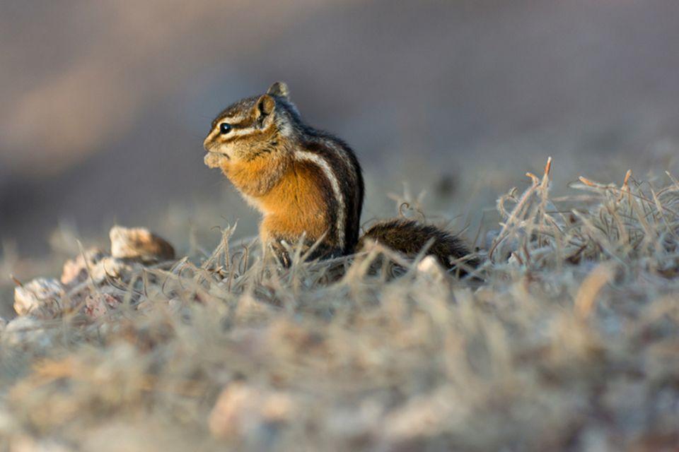 Tierlexikon: Lieber alleine unterwegs: Streifen-Backenhörnchen sind Einzelgänger