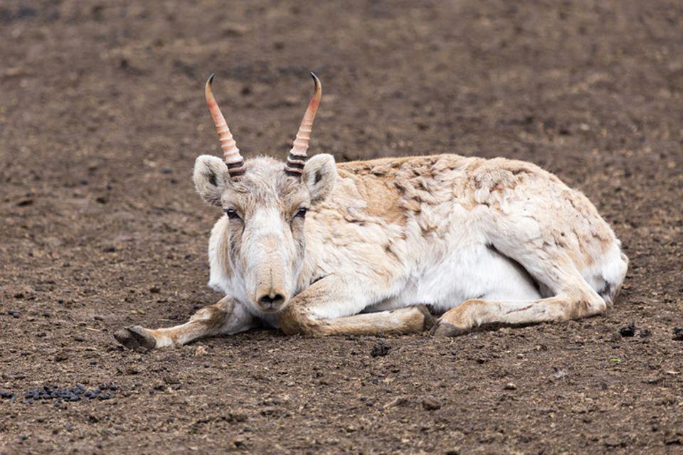 Tierlexikon: Die Saiga-Antilope ist etwa so groß wie ein Schaf