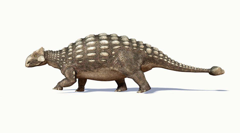 Tierlexikon: Mit der verknöcherten Keule an seiner Schwanzspitze konnte sich der Ankylosaurus gegen Räuber wie Tyrannosaurier gut zur Wehr setzen