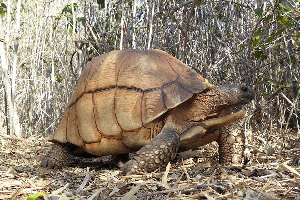 Eine Männliche Angonoka. – die seltenste Schildkröte der Welt