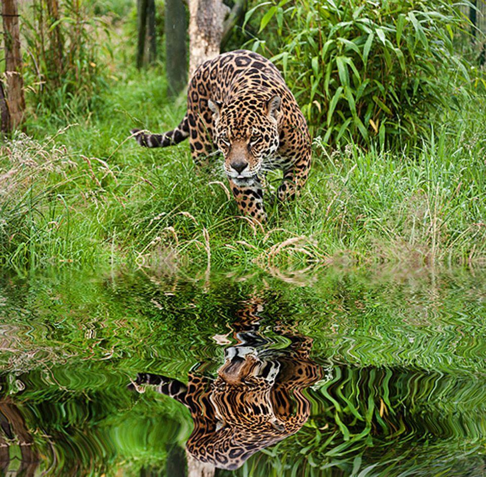 Tierlexikon: Der Jaguar ist in seinem Lebensraum bedroht