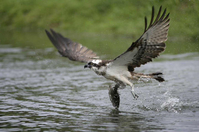 Tierlexikon: Fischadler sind hervorragende Jäger!