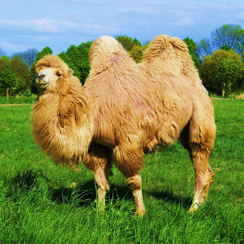 Tierlexikon: Trampeltiere werden häufig mit dem Namen Kamel bezeichnet