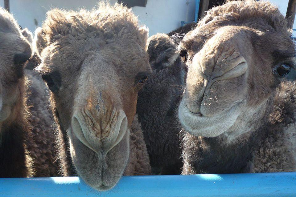 Nach Ende der Sowjetzeit ging die Kamelzucht in Kasachstan fast unter. Inzwischen schätzt man die Tiere wieder