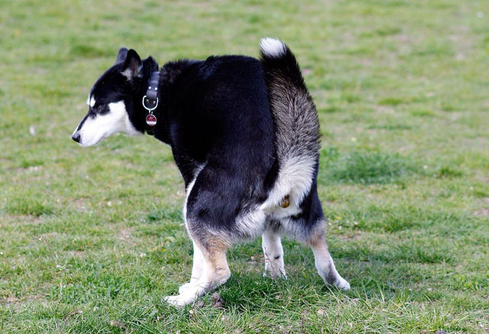 Kuriose Forschung: Besitzt der Hund am Hinterteil eine Kompassnadel?