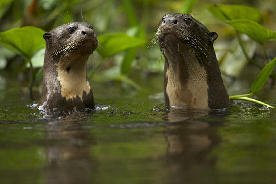 Das Otter-ABC: Riesenotter beherrschen exakt 22 Töne