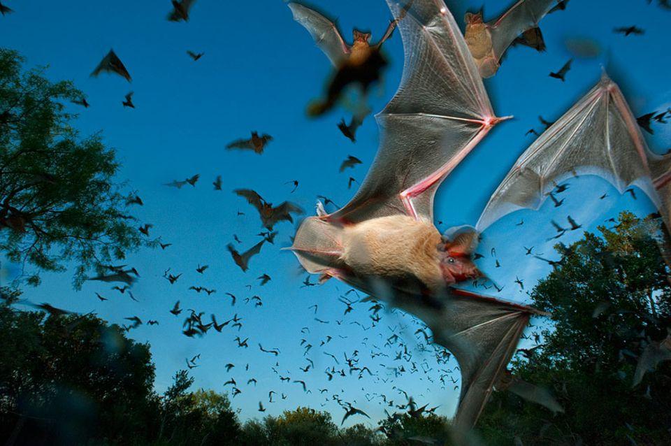 Sonare Sabotage: Fiese Verwandte: Fledermäuse stören ihre Artgenossen bei der Nahrungssuche