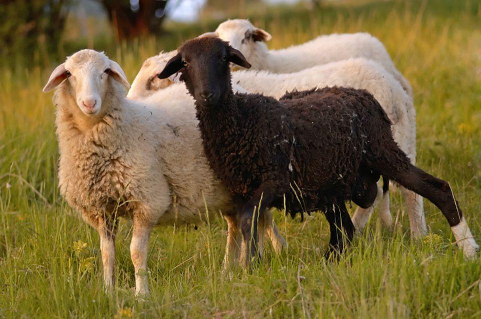 Redewendung: Fällt jemand unangenehm aus der Rolle, nennt man ihn redensartlich das schwarze Schaf