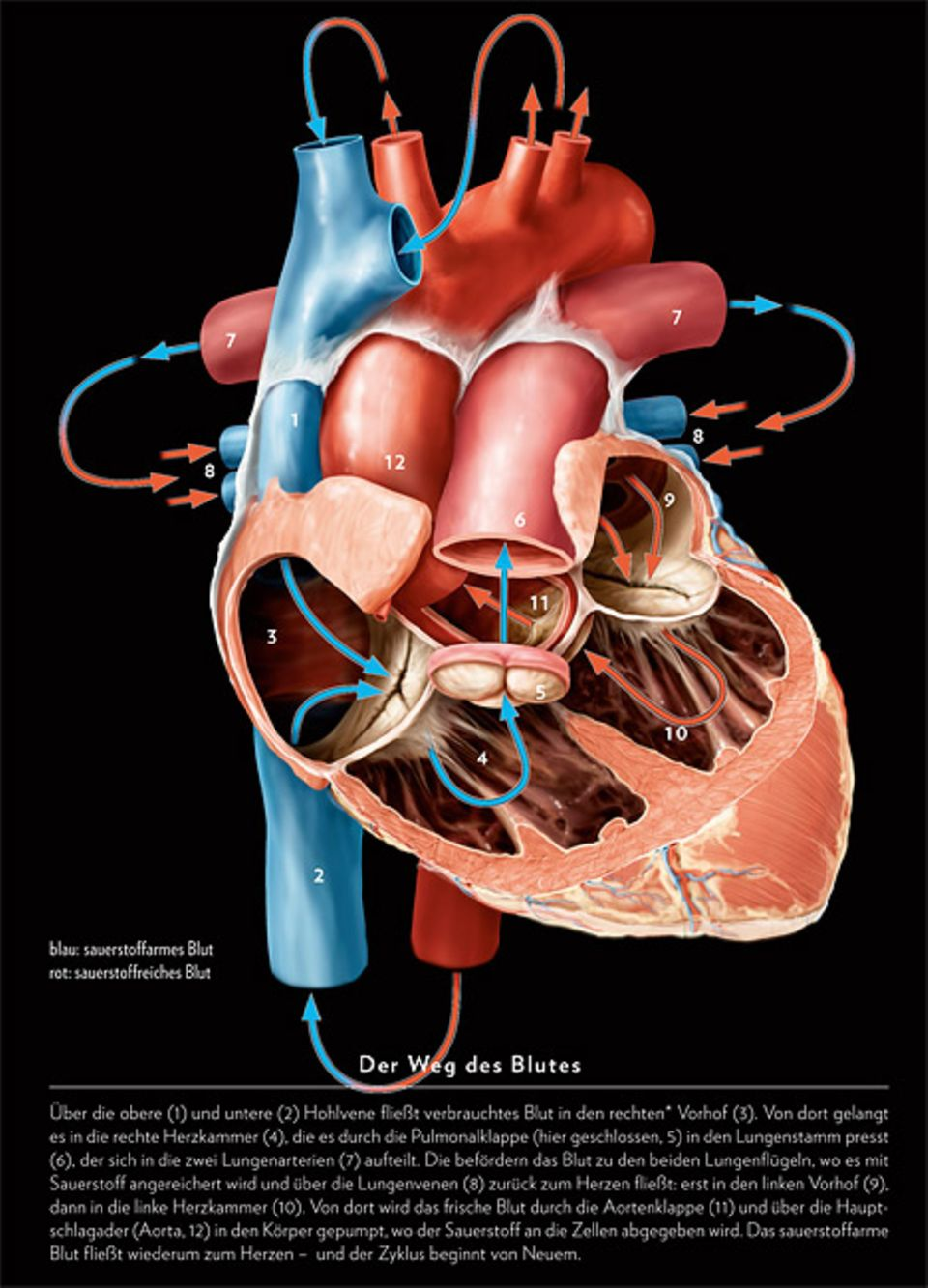 Herzleiden: Der Ausdauer-Weltmeister