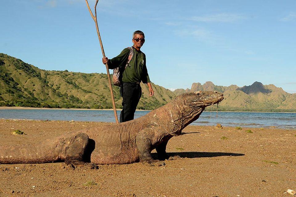 David Robert Hau kennt die Komodowarane wie kaum ein anderer. Seit über 30 Jahren ist er Ranger im Nationalpark Komodo