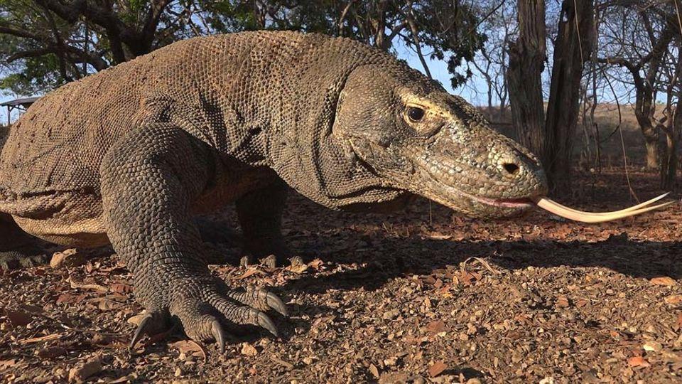 Komodowarane sind mit einer Länge von bis zu drei Metern die längsten Echsen der Welt