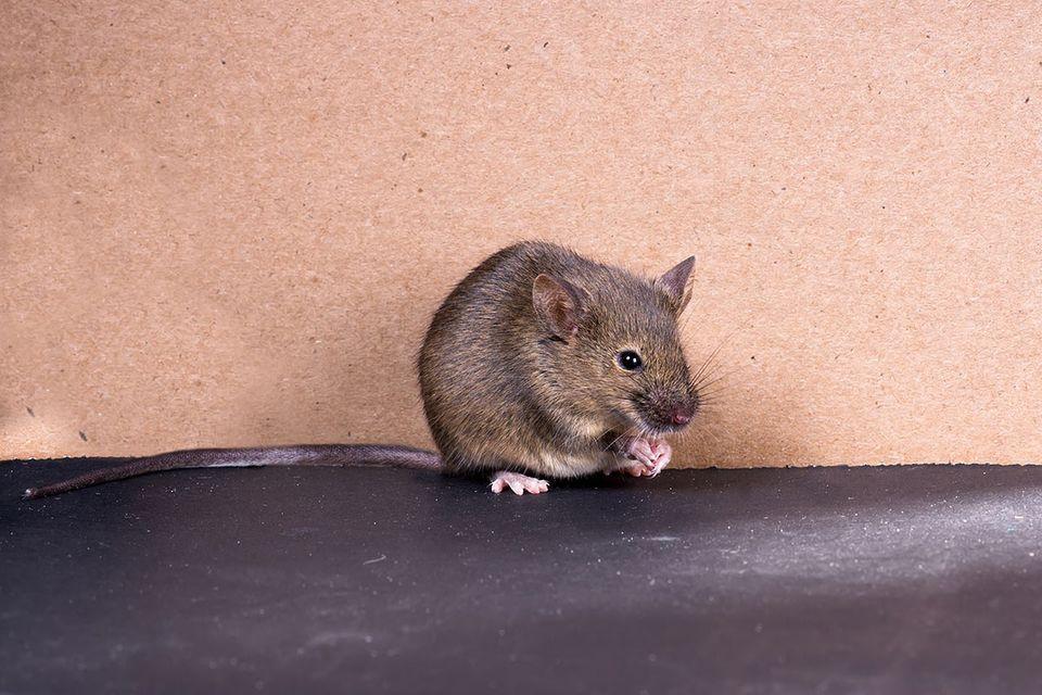 Paarung: Auch verliebte Mäuse-Weibchen singen Lieder