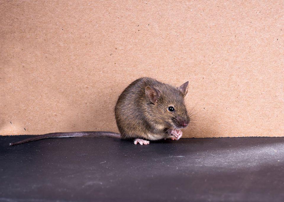 Paarung: Wenn Mäuse um einen Partner buhlen, singen sie komplexe Melodien