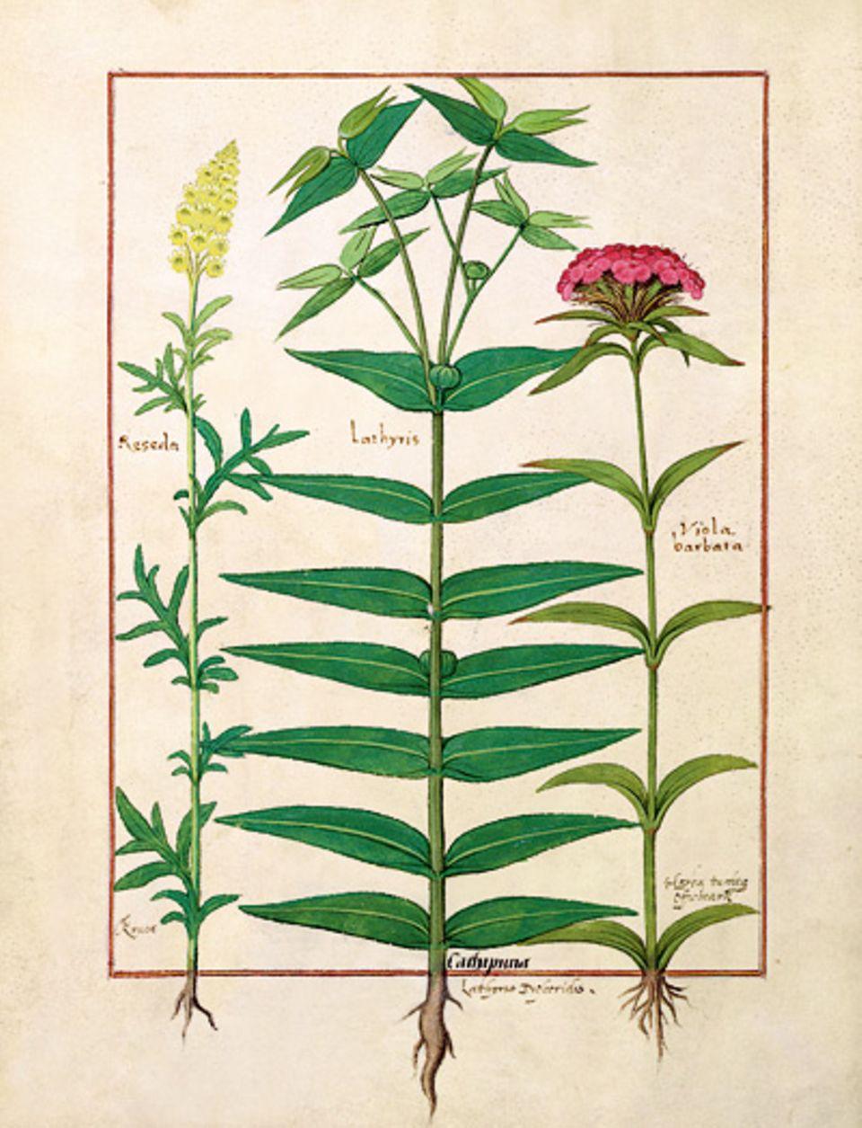 GEO EPOCHE KOLLEKTION: Hildegard erforscht die Heilwirkung von Pflanzen, so der abführenden Euphorbia lathyris (Mitte; Buchmalerei, 15. Jh.)