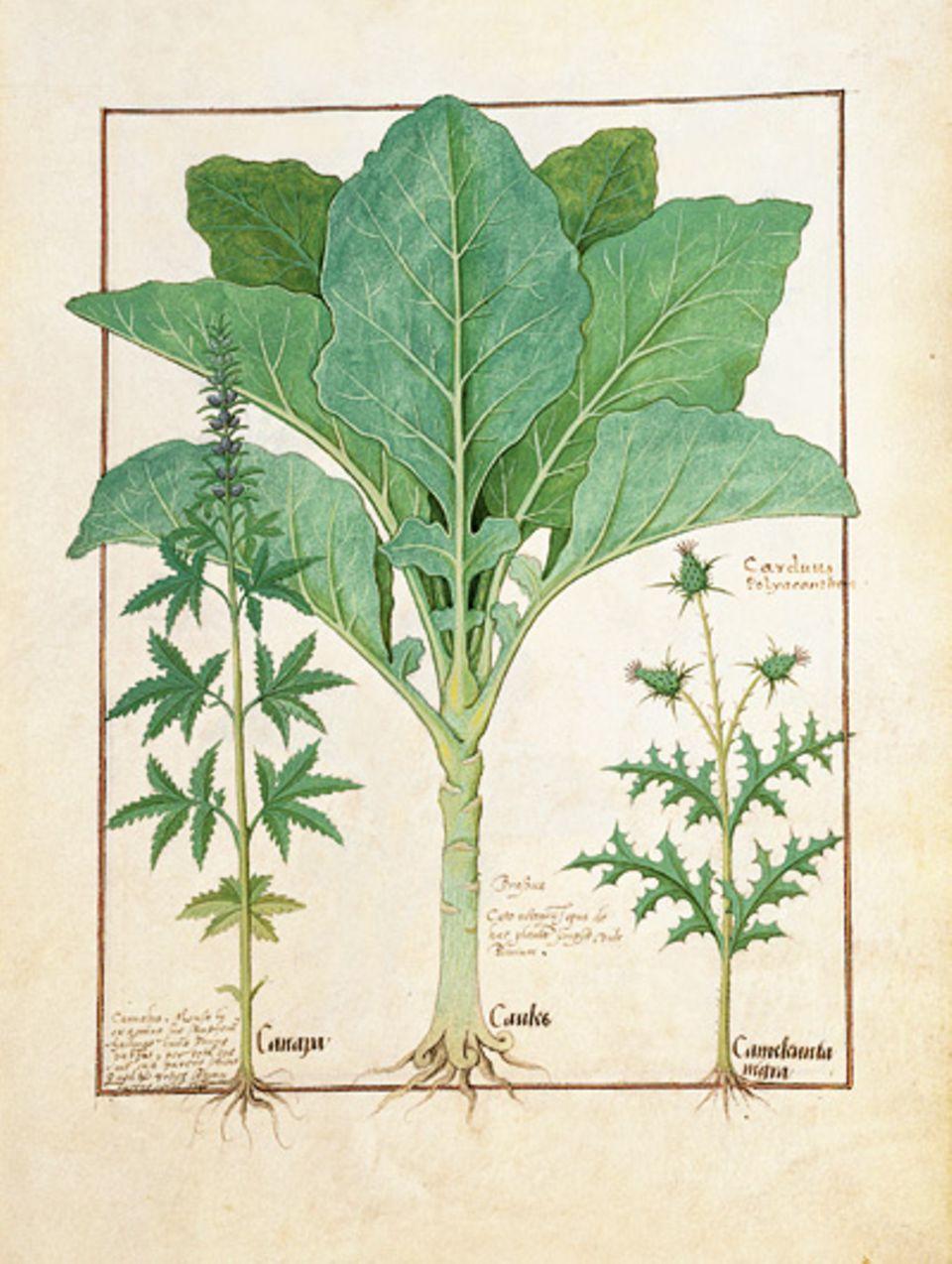 GEO EPOCHE KOLLEKTION: Das Harz der Cannabis- Pflanze (oben links) wird bei Frauenkrankheiten sowie Gicht und Rheumatismus verordnet
