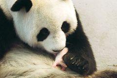 Fotoshow: Pandabären