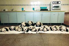 Fotoshow: Pandabären - Bild 4