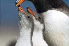 Fotoshow: Pinguine - Bild 3