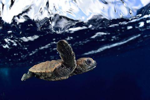 Biologie: Die Meeresschildkröten von Bonaire