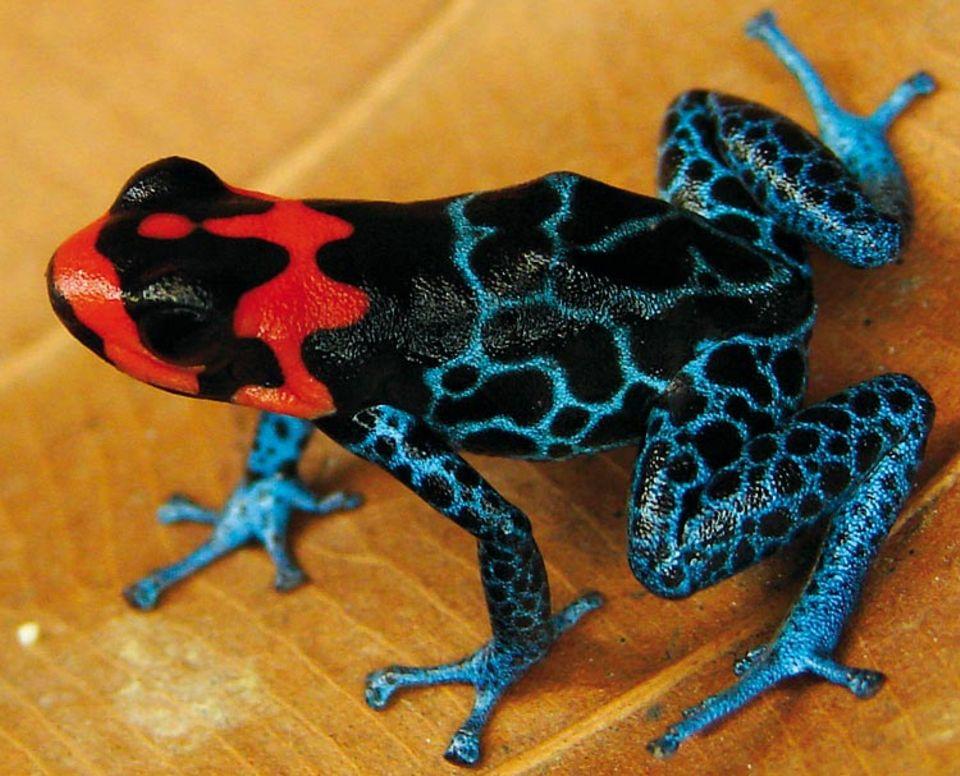 Biodiversität: Im Zeitraum von 1999 bis 2009 wurden allein im Amazonas-Gebiet 637 neue Pflanzen- und 583 Tierarten entdeckt, berichtet der WWF - darunter auch der Frosch Ranitomeya benedicta