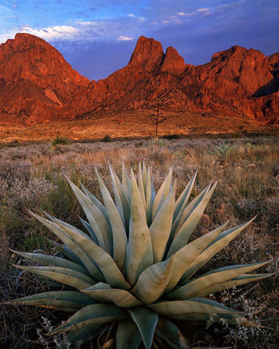 In der staubtrockenen Chihuahua-Wüste überlebt man nur mit einer gewissen Stacheligkeit. Das gilt für Menschen und Agaven