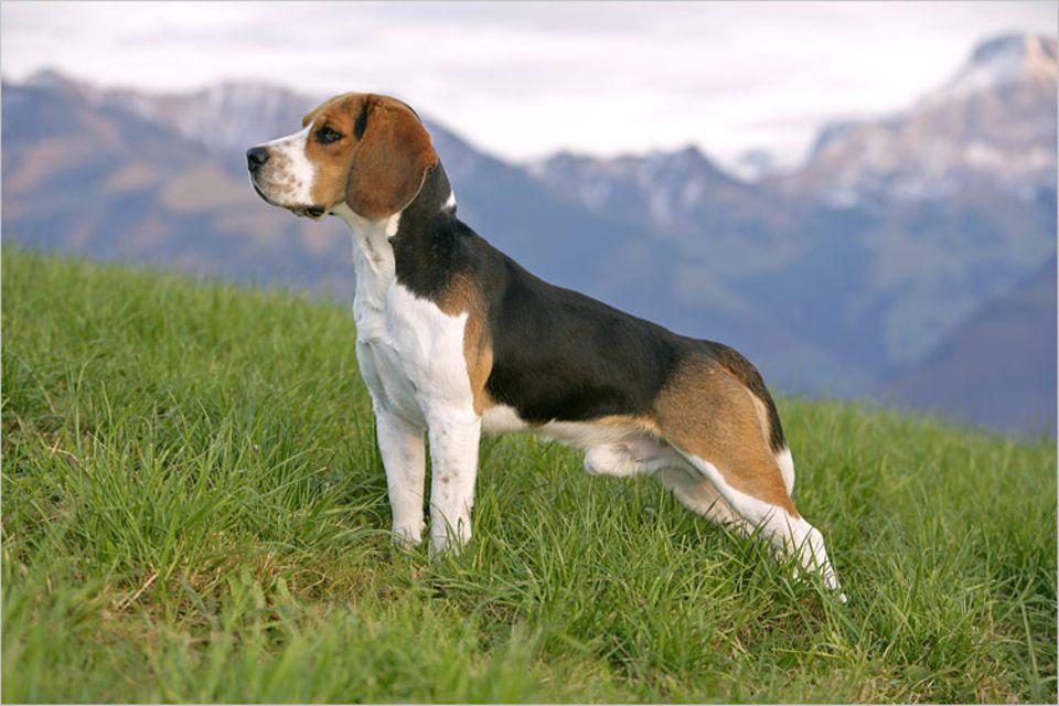 Redewendung: Dieser Beagle schaut ganz aufmerksam in eine Richtung. Er scheint etwas entdeckt zu haben