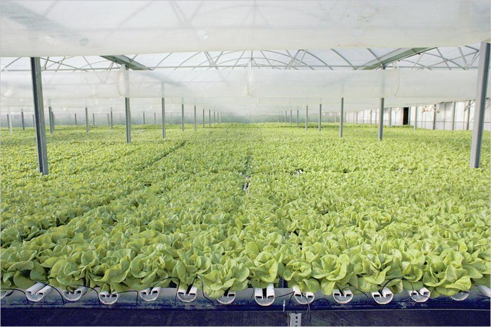 Lebensmittelproduktion: In Zukunft könnten Obst und Gemüse ohne Erde in Gewächshäusern mitten in Städten gedeihen (wie hier in New York) - vielleicht sogar in Hochhäusern mit 30 Stockwerken