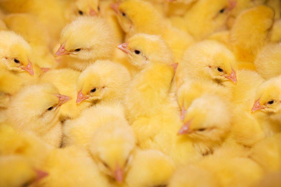 Massentierhaltung: Bis zu drei von hundert Hähnchen sterben in der Mast an plötzlichem Herzversagen