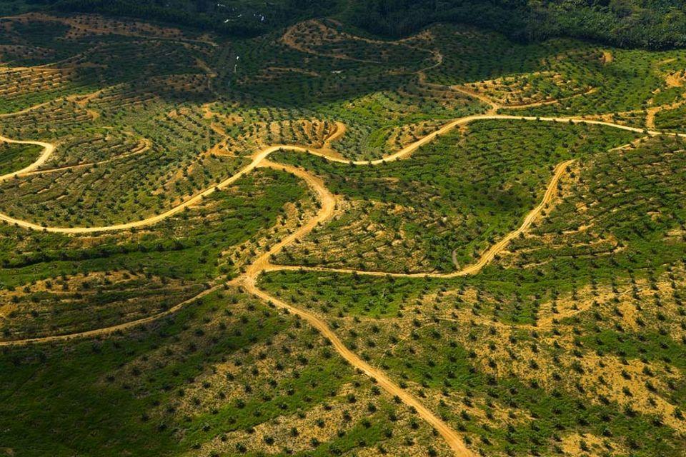 Lebensmittelproduktion: Palmölplantage auf Borneo: Mit dem Regenwald wird auch der Lebensraum von bedrohten Tierarten, wie dem Orang-Utan, zerstört
